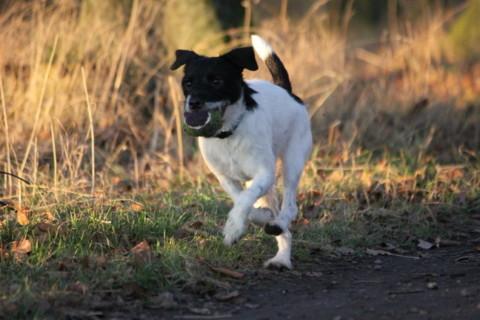 Wie viel auslastung braucht ein Jack Russell Terrier ?