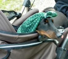 Wandern mit kleinen Hunden: Wanderdackel Bodo und seine Rucksacktrage