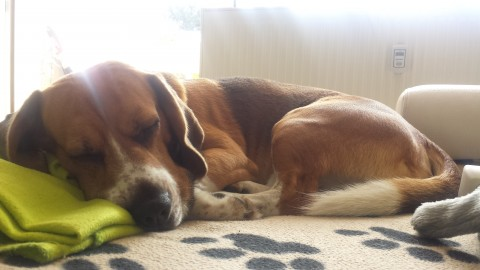 Hund allein zu Haus – Wie klappt das?