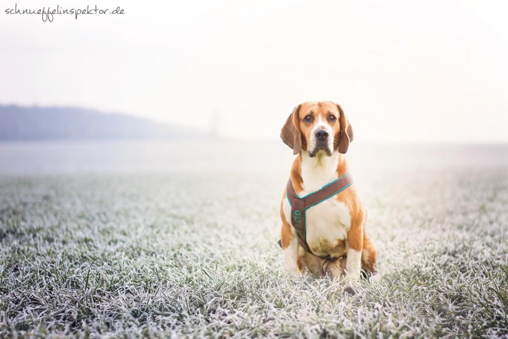 Beagle Hund Hundeblog miDoggy