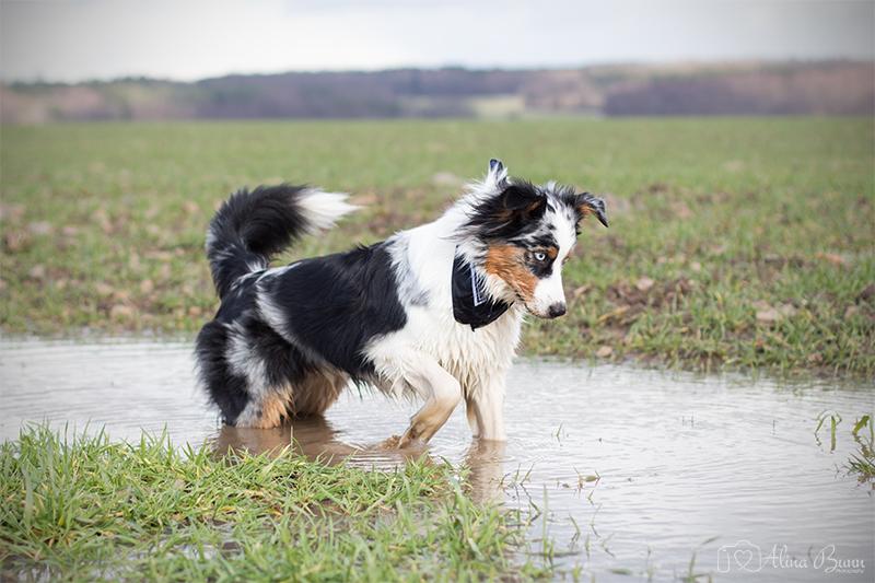Australian Shepherd Hundeblog miDoggy