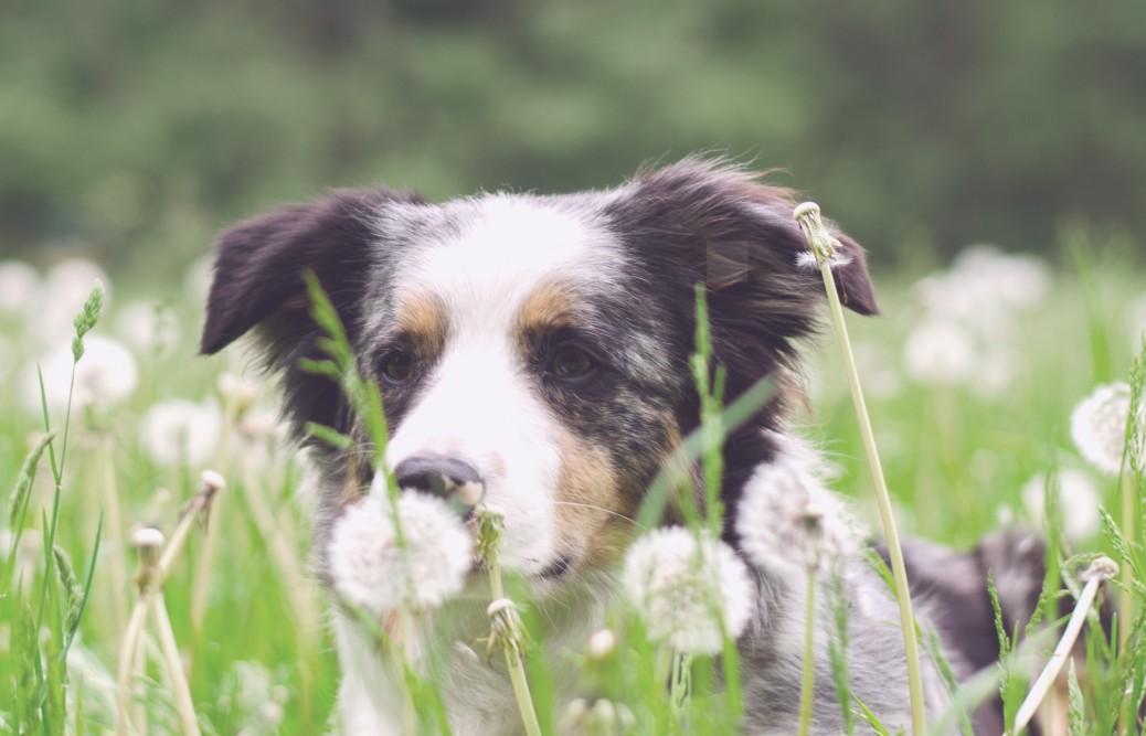 Pusteblume Hund