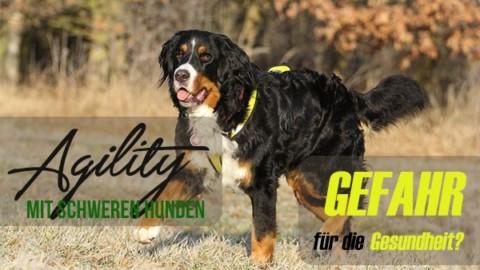 Agility mit großen, schwerfälligen Hunden: Gefahr für die Gesundheit?