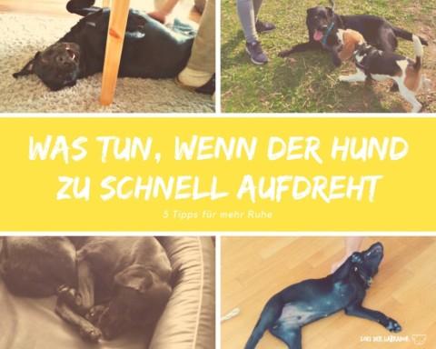Aufgeregter Labrador: Wenn Hunde zu schnell aufdrehen [5 Tipps für mehr Ruhe]