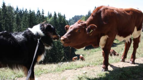 """""""Rinderwahnsinn"""" beim Wandern mit Hund? Hier gibts die wichtigsten Tipps zum Download!"""