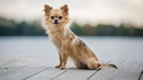 Warum kleine Hunde echte Hunde sind.