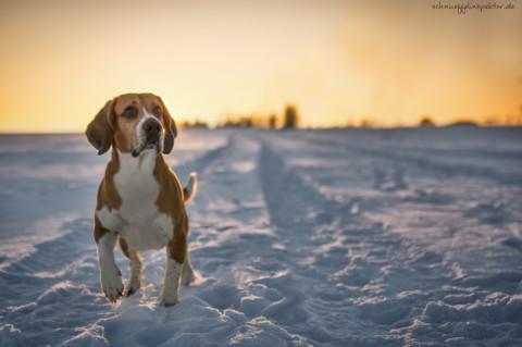 Der Beagle – Kleine Monster mit niedlichem Blick
