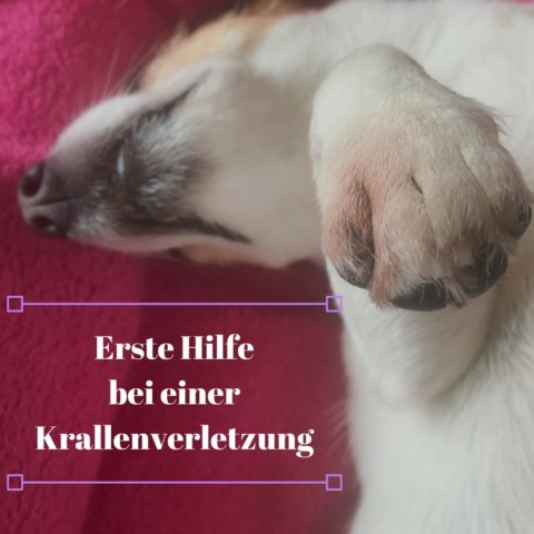 Erste Hilfe bei einer Krallenverletzung: Was mache ich wenn mein Hund sich eine Kralle abgerissen oder verletzt hat?