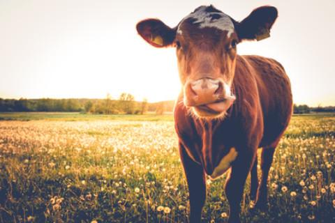 Wie gefährlich sind Kühe für unsere Hunde?