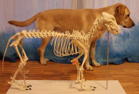 Häuptling rauchender Kopf oder die Ausbildung zum Hundephysiotherapeuten Teil 1