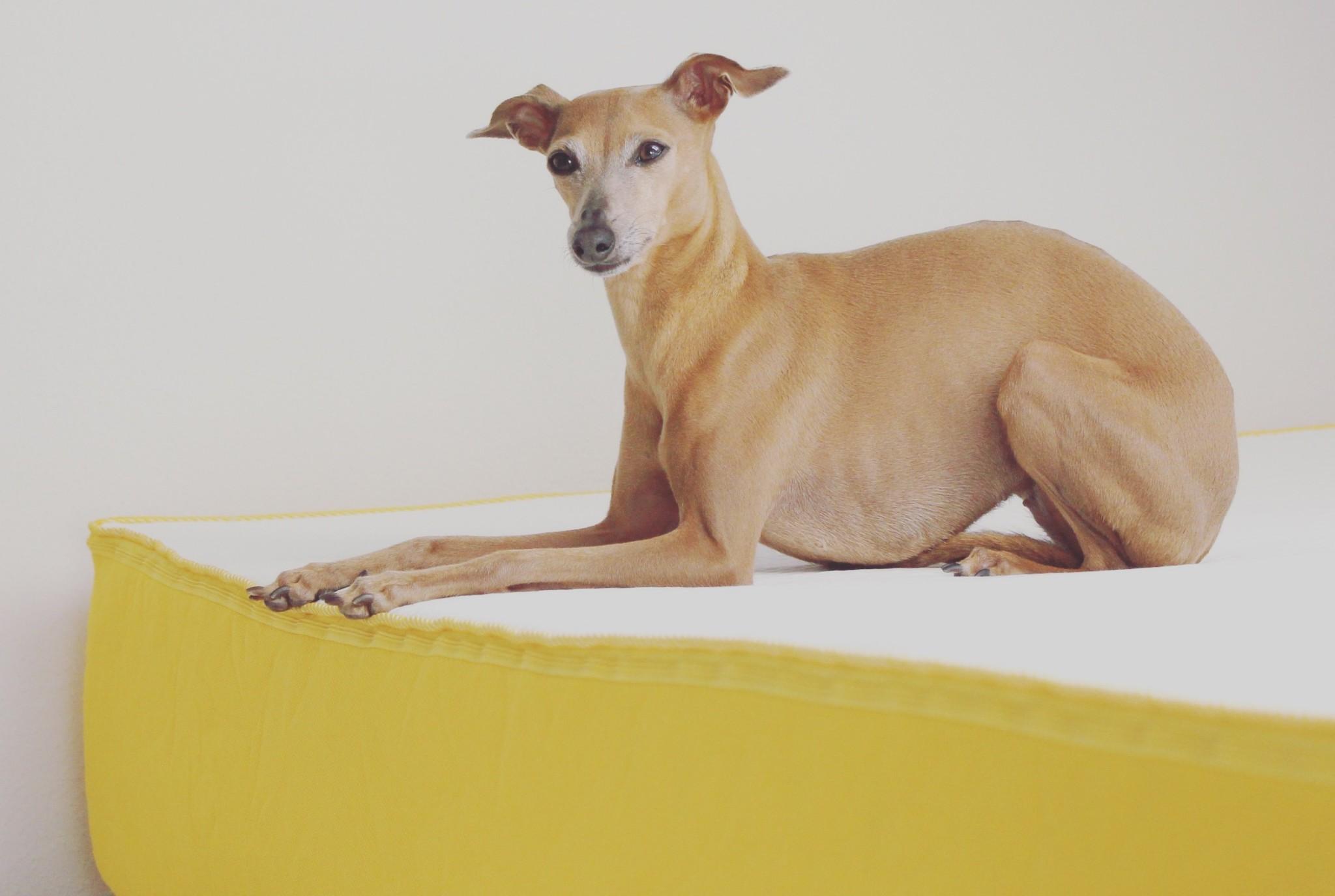 warum hunde im bett auf einer eve matratze schlafen sollten. Black Bedroom Furniture Sets. Home Design Ideas