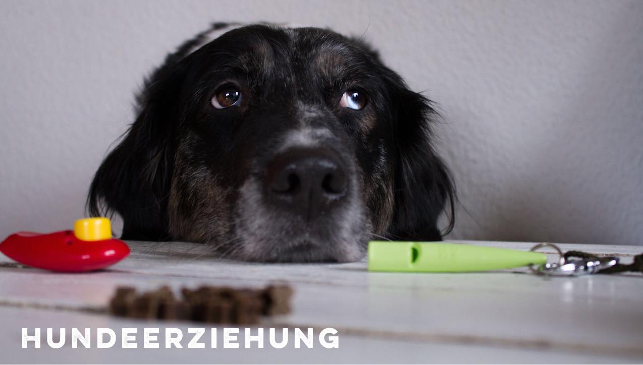 Hundeerziehung Erziehung Hund miDoggy