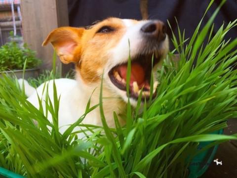 Erste Hilfe für Hunde: wieso frisst mein Hund Gras?