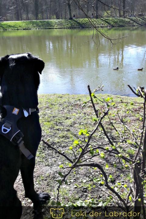 Mein pubertärer Labrador Rüde (Teil 2)