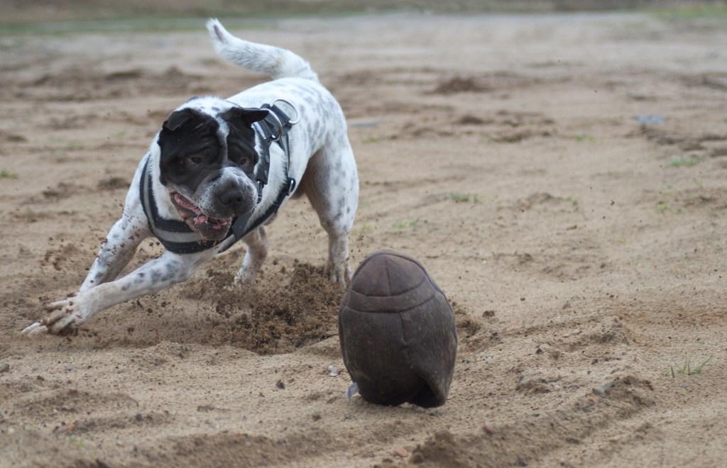 Kingston-Rugby-Vintage-Lixit-Test-Ball-Produkttest-Hund-Hundeblog-Blog-Shar-Pei-Hunde-Malous-mannigfaltige-Welt-Rabaukenbande-Kingsto