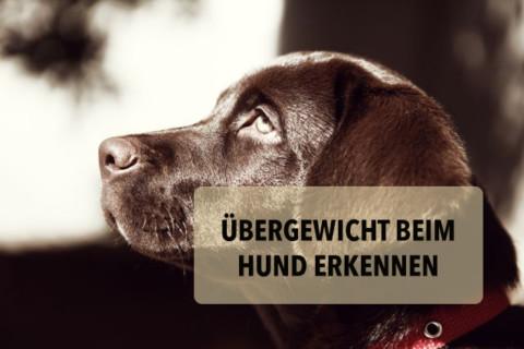 So erkennst du Übergewicht beim Hund und verhinderst, dass er krank wird