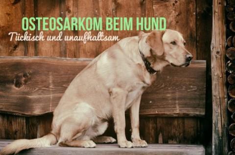 Osteosarkom beim Hund – tückisch und unaufhaltsam