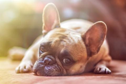 Schuldig oder unschuldig – Haben Hunde Schuldgefühle?