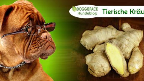 Tierische Kräuterküche : Ingwer für Hunde