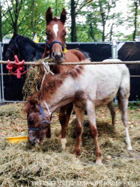 Von Pferden und Menschen – Pferdemarkt Zuidlaren