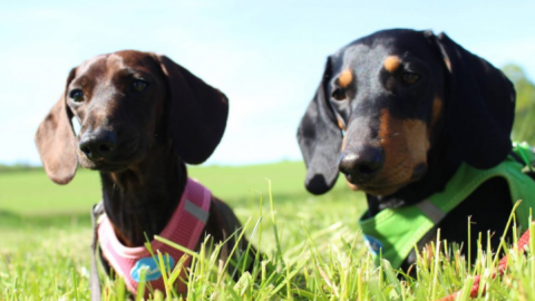 #Hunderassen: Der fantastische Dackel