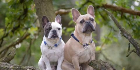 Rasseportrait: Französische Bulldogge