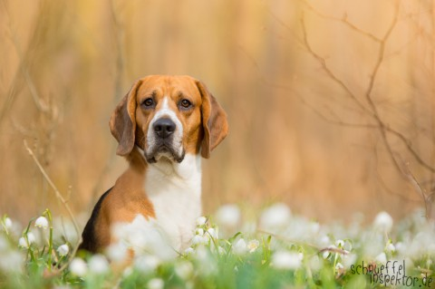 midiDoggy Beagle Timmy, der Schnüffelinspektor