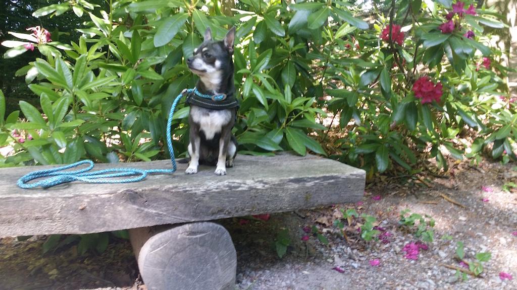 Chihuahua - Hunde-Blog miDoggy 3