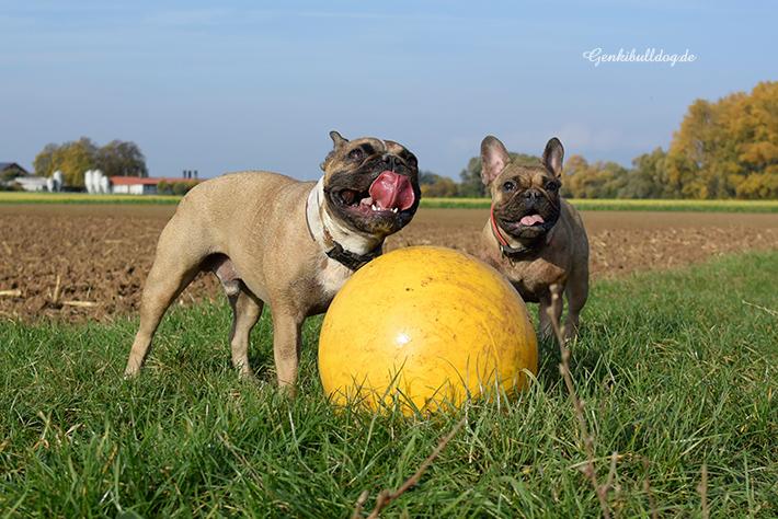 Der Treibball Hund