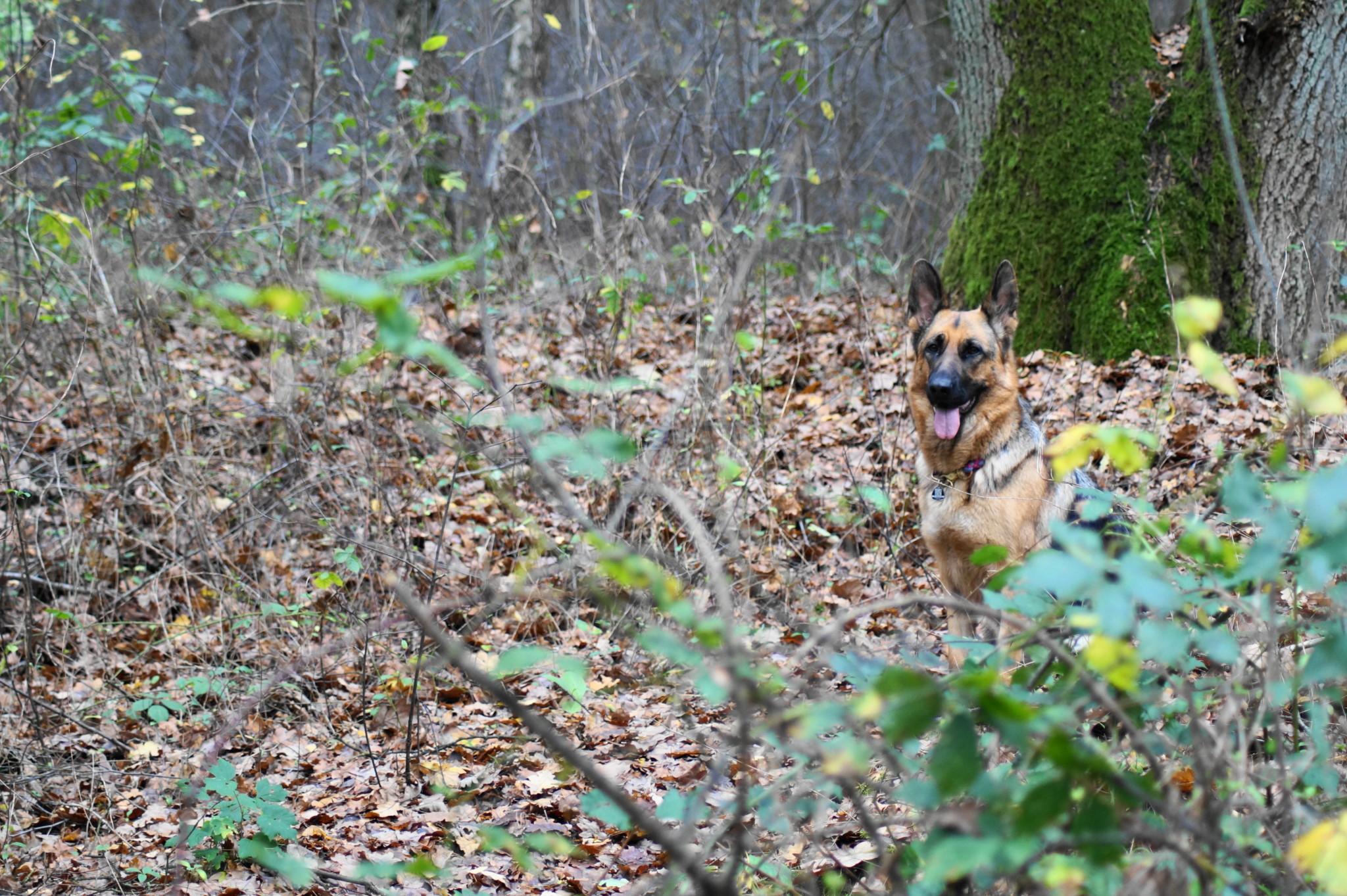 Wald Schäferhund