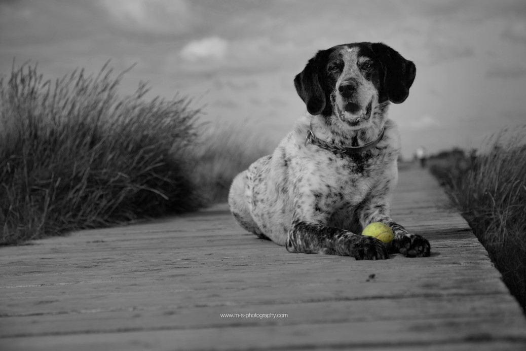 Hund auf dem Steg