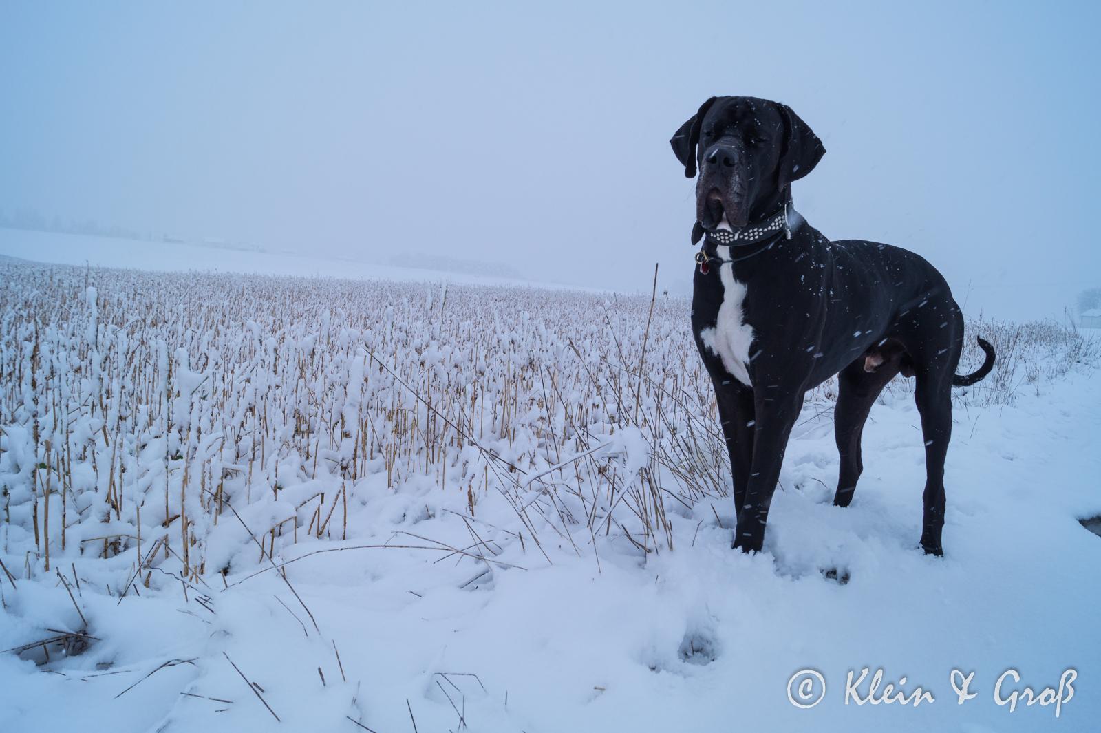 Dogge Schnee Hundeblog miDoggy