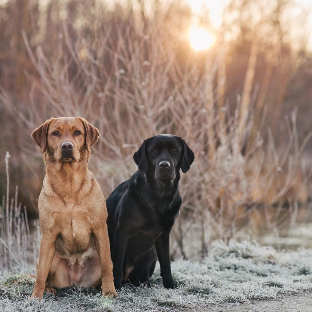 Hundefotografie Pfotentick Labrador