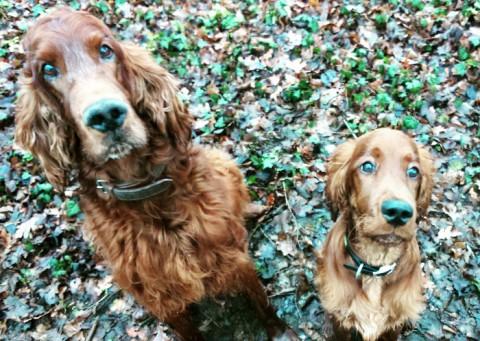 Flynn & Watson – Zwei Irische Setter