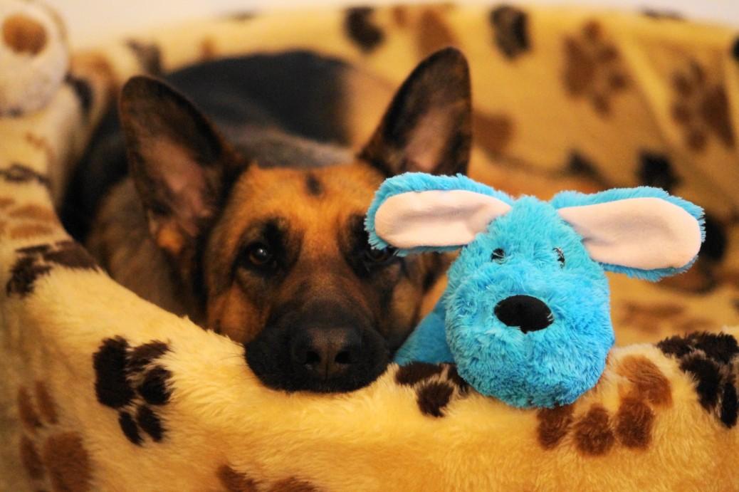Schäferhund Valentinstag