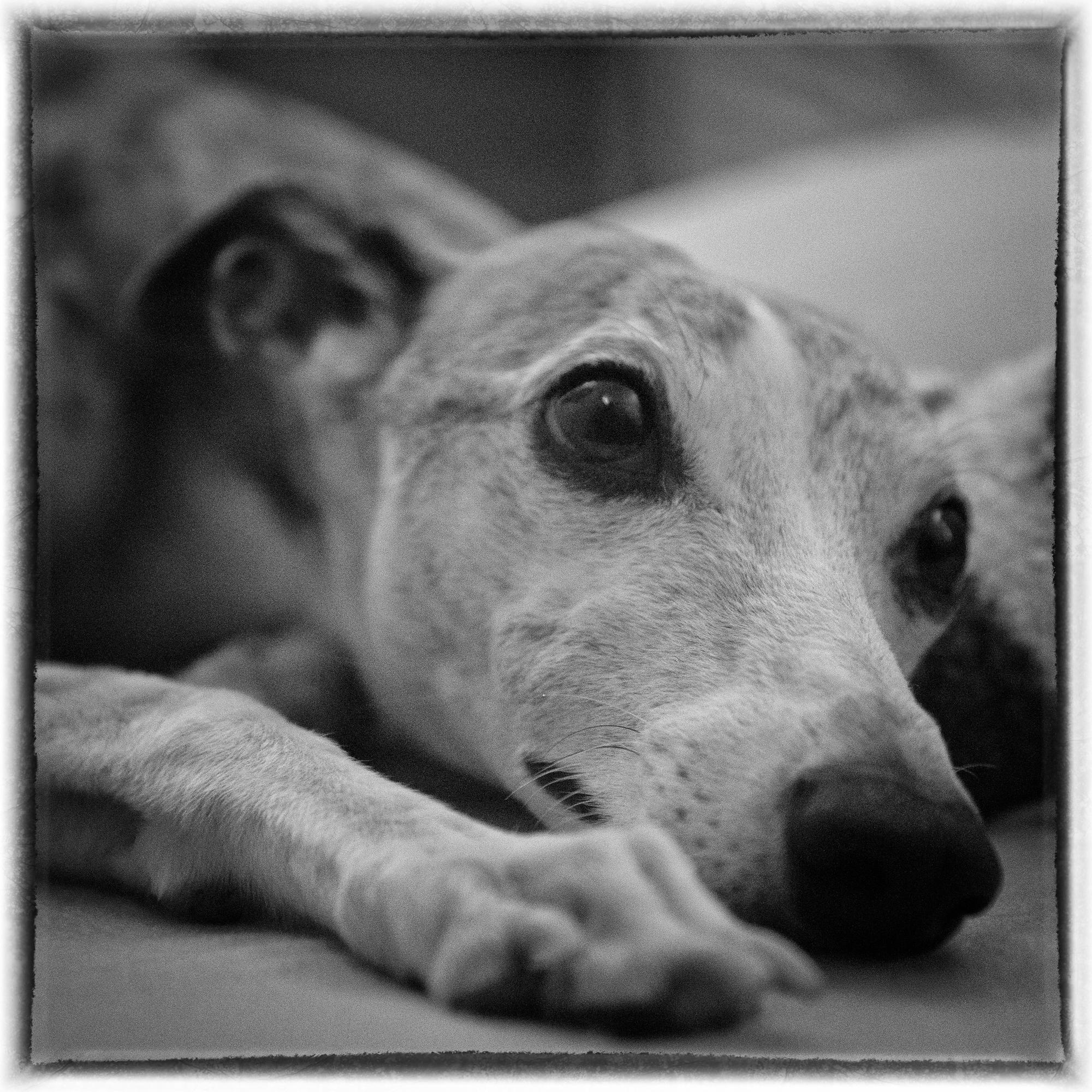 Luna meditiert Hund Whippet