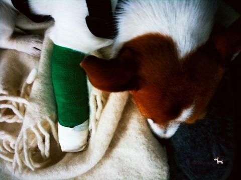 Wie legt man einen Pfotenverband oder allgemein Verbände beim Hund an?