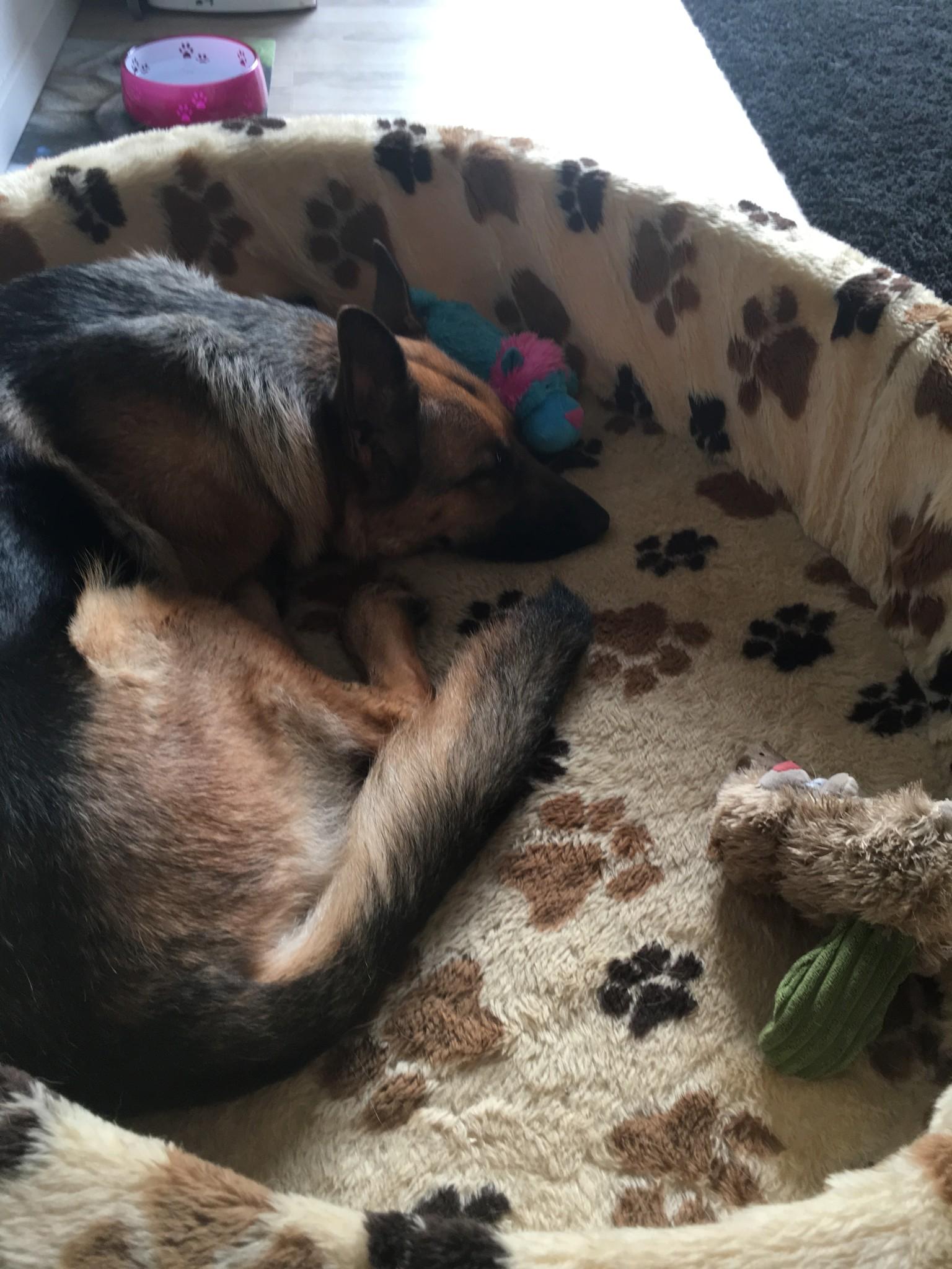 Schlaf Hunde Ruhen