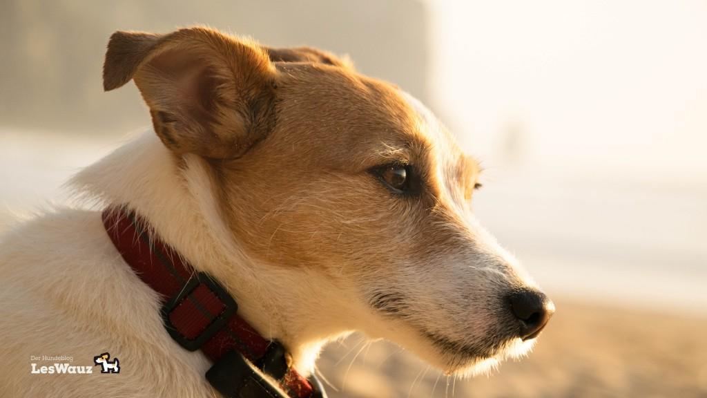 Hundeportrait Sonnenuntergang