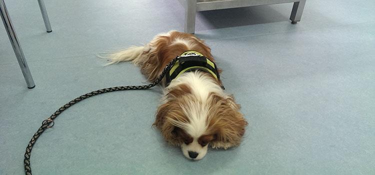 Krankheit Syringomyelie Juckreiz Hund