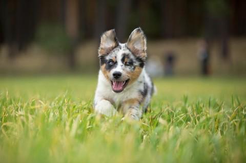 Der Australian Shepherd muss den ganzen Tag laufen, um glücklich zu sein! [Echt jetzt?!]