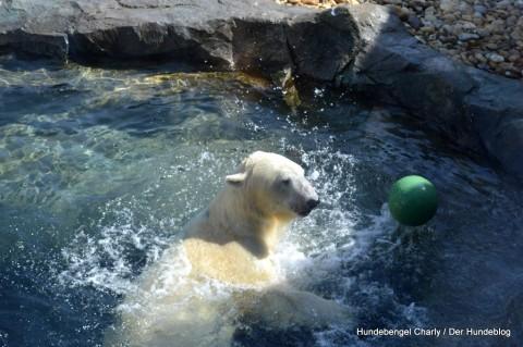 Tiergarten Schönbrunn – Der verspielte Eisbär