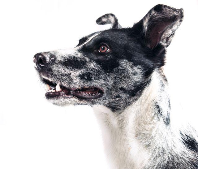 Ellenbogendysplasie Hund