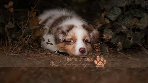 #Hunderassen: Ein Australian Shepherd