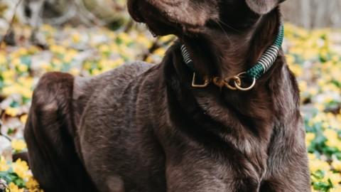 Der Labrador als Anfängerhund