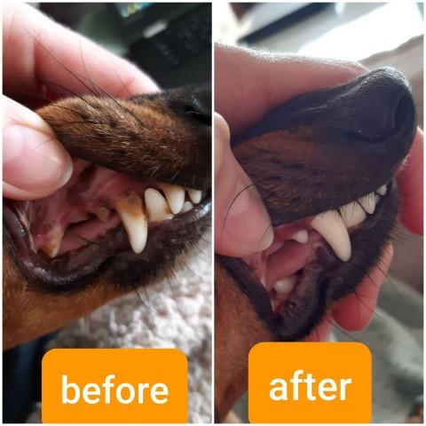 Die Zähne beim English Toy Terrier