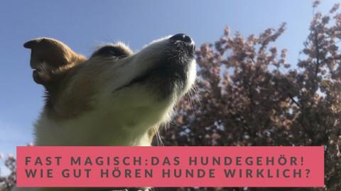 Das faszinierende Hundegehör! Wie gut hören Hunde wirklich?