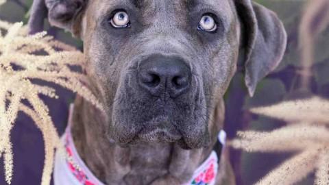 Hundeleben in D: Frieda, das lebensfrohe Cane Corso-Mädel