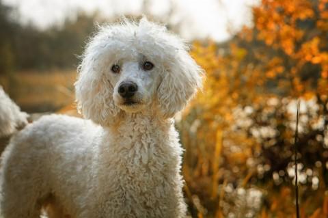 Bandscheibenvorfall beim Hund – Bedeutung, Ursachen & Folgen