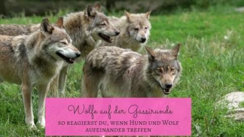 Wenn Hund und Wolf sich begegnen…